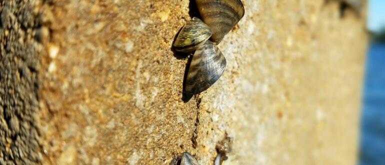 Zebra mussels Madison lakes